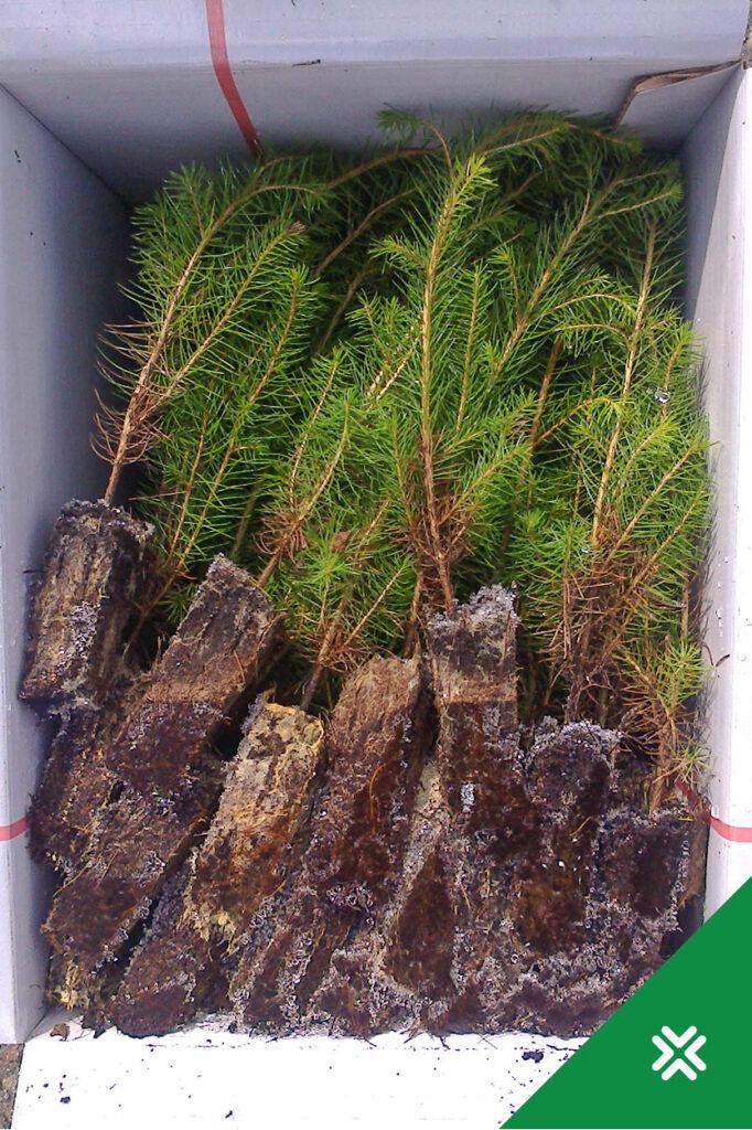 Külmunud metsataimede ettevalmistamine istutamiseks. Metsauuendus. Metsaühistu